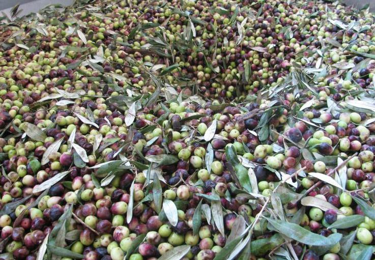 Olive-rosciola-raccolte